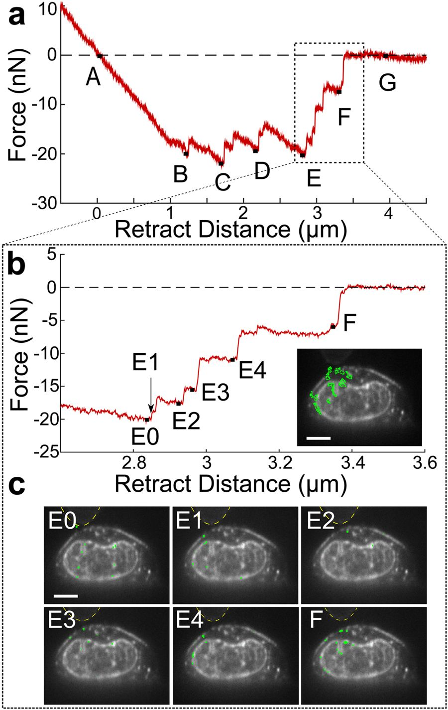igure 5 from Vertical Light Sheet Enhanced Side-View Imaging for AFM Cell Mechanics Studies: Membrane and nuclear displacements observed in response to force-rupture events between the AFM-tip and cell membrane. (a) Retraction portion of force-indentation curve with important points (A-G) identified. A, the point of zero force application to the cell, B-F, force-rupture peaks, and G, after bead releases from cell. (b) A closer examination of peaks E and F with sub-peaks of the E rupture event identified. No point is shown for E1 because this is the frame immediately following Peak E0. Inset indicates regions where displacement is measured between points E and F highlighted in green. These regions were determined through difference imaging using frames taken at E and F. (c) Regions of cell displacements determined through difference imaging highlighted in green for the sub-peaks indicated in (b). Yellow dashed lines indicate outline of AFM mounted bead. Scale bars = 5 um. NanoWorld Arrow-TL1 tipless AFM cantilevers were used.