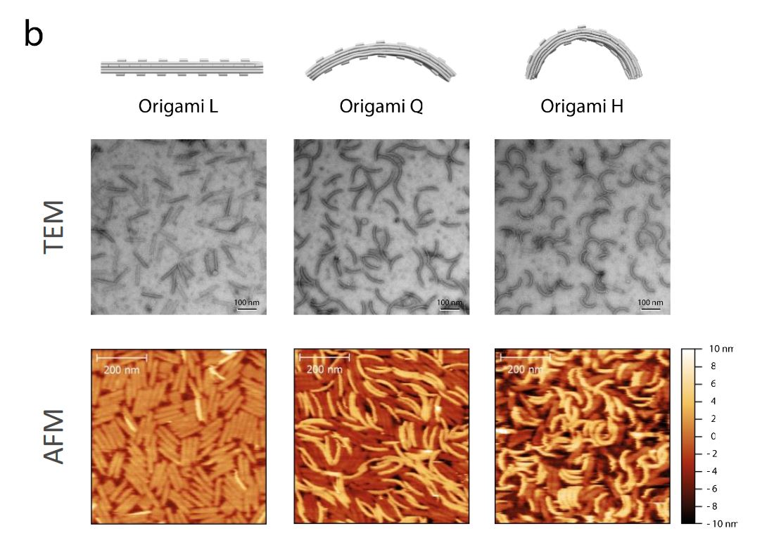 Supplementary Figure 5 b from Membrane sculpting by curved DNA origami scaffolds: Characterization of folded DNA origami nanoscaffolds. ( a ) Assembly of the folded bare origami structures L, Q, H was initially assessed via agarose gel (2%) electrophoresis analysis. Lanes containing marker DNA ladder (1kb) and M13 single - stranded p7249 sc affold (Sc) were also included. ( b ) Structure of folded bare origami L, Q and H was further validated using negative - stain transmission electron microscopy (TEM ; scale bar s : 100 nm ) and atomic force microscopy (AFM ; scale bar s : 200nm ).