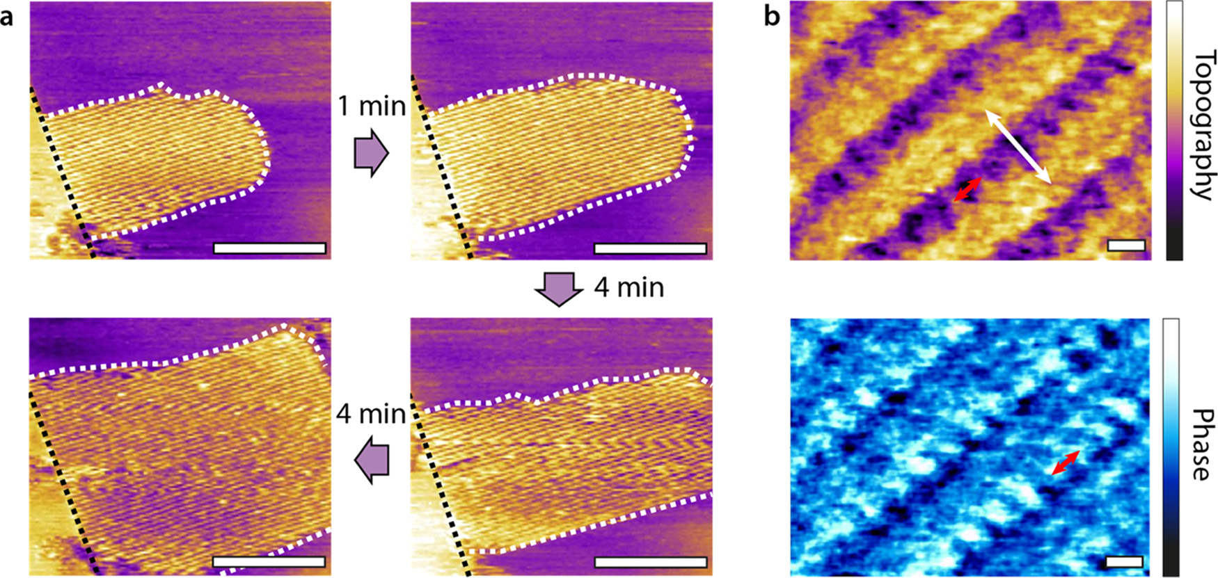 "Figure 1 from ""In Situ Molecular-Level Observation of Methanol Catalysis at the Water–Graphite Interface"" by W. Foster et al.: High-resolution amplitude modulation AFM imaging of HOPG immersed in initially ultrapure water. (a) A solid-like patch formed by the self-assembly of molecules (dashed white outline) nucleates from an atomic step at the HOPG surface (dashed black line). The molecular self-assembly is observed here in situ as it progressively grows across the HOPG surface over a period of 9 min, with the patch edges moving away from the step. Rowlike structures with a periodicity of 4.30 ± 0.28 nm as visible within the patch. (b) Sub-nanometer imaging of other structures reveals detailed features (0.79 ± 0.08 nm periodicity, red arrows) perpendicular to the main rows (periodicity 2.45 ± 0.08 nm, white arrow). The exact molecular arrangement is not known, but strongly reminiscent of the alternated water–methanol nanoribbons recently reported by our group.(22) The white scale bars are 100 nm in (a) and 1 nm in (b). The purple color scale bar represents a topographic variation of 20 Å in (a) and 1 Å nm in (b). The blue scale bar represents a phase variation of 20° in (a) and 10° in (b). In (a) the time lapse between the first and second frames is 1 min and then 4 min elapses between the subsequent frames. NanoWorld Arrow-UHFAuD AFM probes were used."