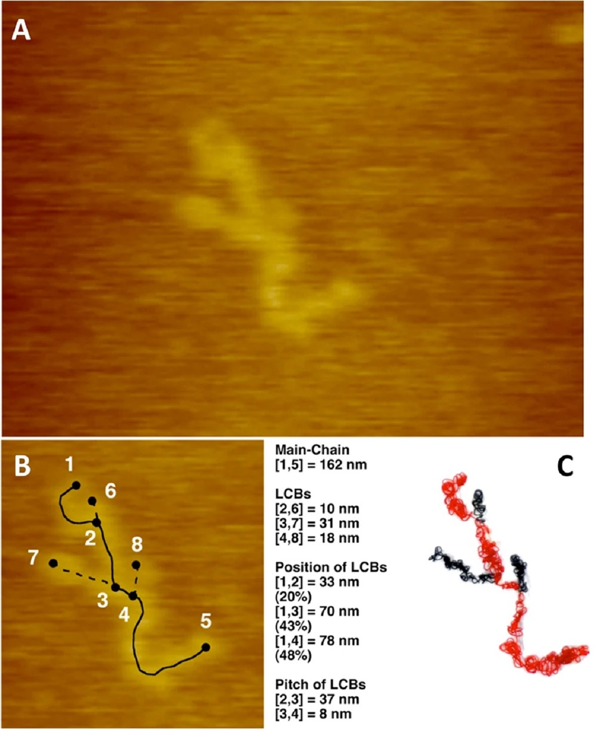 "Figure 1 from ""Direct Observation of Long-Chain Branches in a Low-Density Polyethylene "" by K. Shinohara et al.: Direct measurement of LCB in a tubular LDPE (F200-0 fractionated). (A) AFM image of a single molecule of LDPE on mica in DMTS at 25 °C. X: 279 nm, Y: 209 nm, Z: 18 nm. (B) Length of each chain of LDPE. (C) A wire model of self-shrinking structure of polymer chain of LDPE. Main chain: red wire. LCB: black wire. The model was created to be one tenth of the length of the extended chain based on AFM observation (B), MD simulation (Fig. S1), and the molecular weight determined by SEC-MALLS-Visc experiments (see Fig. 2)."