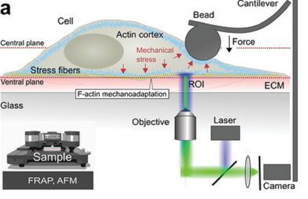 "Figure 1 a from ""Simultaneous Quantification of the Interplay Between Molecular Turnover and Cell Mechanics by AFM–FRAP"" by M. Skamrahl et al.:   Establishment and calibration of the optomechanical AFM–FRAP platform. a) Schematic of the AFM–FRAP setup illustrating the experimental power of simultaneous quantification of molecule kinetics and cell mechanics"