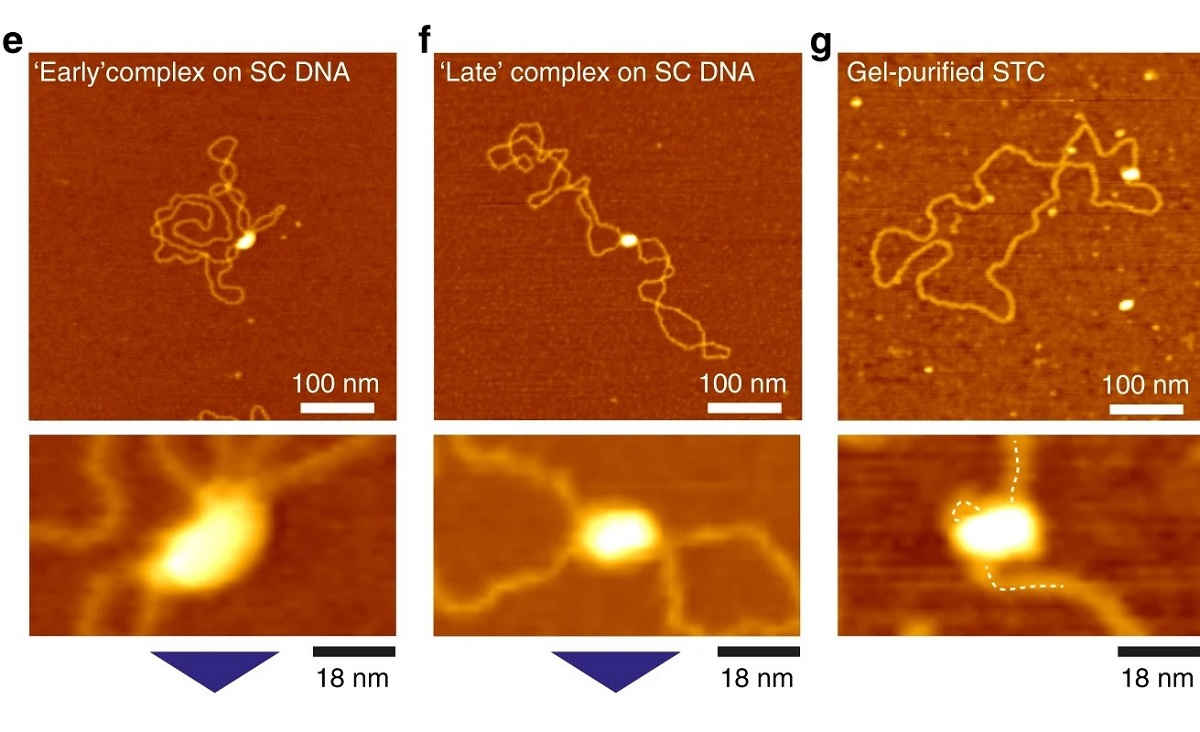 "Figure 2 e, f and g from ""The free energy landscape of retroviral integration"" by Willem Vanderlinden et al.  (please refer to the full article for the complete figure 2  https://rdcu.be/b0R63 ) :   e Atomic Force Microscopy image of intasomes incubated briefly (2 min) with supercoiled plasmid DNA, depicting a branched complex as found in ~50% of early complexes.   f  Atomic Force Microscopy image of a bridging complex that dominates (~80%) the population of complexes at longer (>45 min) incubation.   g  Atomic Force Microscopy image of a gel-purified STC"