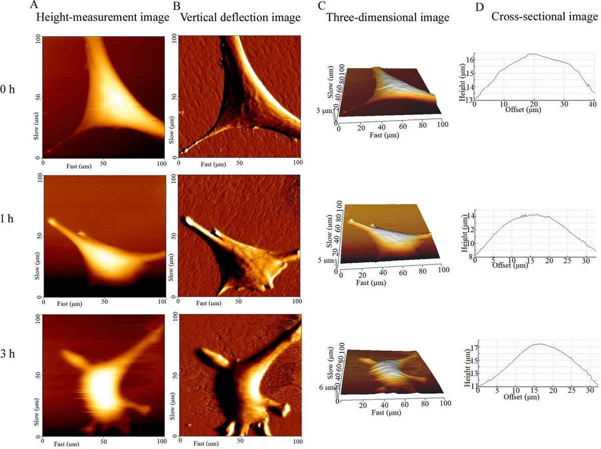 "Figure 4 from ""Nanomorphological and mechanical reconstruction of mesenchymal stem cells during early apoptosis detected by atomic force microscopy"" by Xuelian Su et al.: Surface topography of BMSCs captured by AFM at different times. Columns A–D indicated the height-measurement images, vertical deflection images, three-dimensional images and cross-sectional images, respectively. The bright area was the elevated part of the cell, where the nucleus was located(A,C). The untreated cells adhered well, and their surface was smooth. The texture of the F-actin bundles is clearly visible (B, 0 h). The surface of treated cells became increasingly rough, the periphery of the cells became irregular and the area of cell extension gradually decreased (A and B, 1 h, 3 h, respectively)."